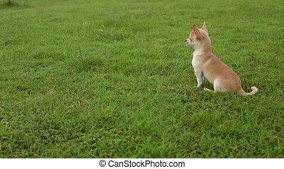chihuahua dog in garden
