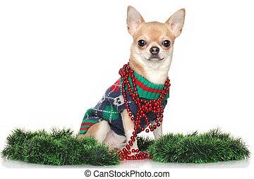 Chihuahua dog in garlands