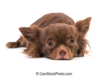 Chihuahua dog lying down, looking scared