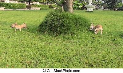 chihuahua dog playing in garden