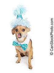 Chihuahua Dog Wearing Blue Birthday Hat