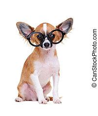 chihuahua dog  wearing glasses sitting