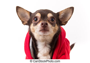 chihuahua dog with coat