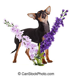 chihuahua dog with flowers on white background.