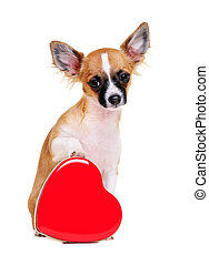chihuahua dog with heart shape box