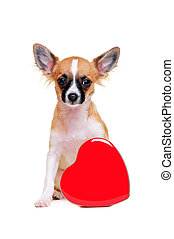 chihuahua dog  with heart
