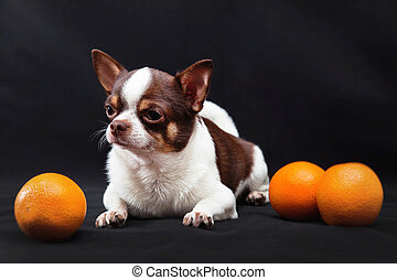 Chihuahua dog with oranges on a black background