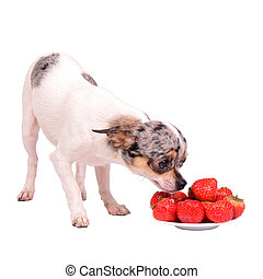 Chihuahua dog with plate of food, isolated on white