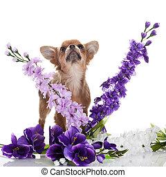 chihuahua, dog, witte bloemen, achtergrond.