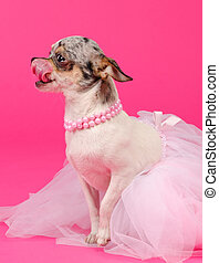 Chihuahua dressed like ballerina licking it's nose