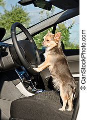 Chihuahua driver with paws on steering wheel - Chihuahua...