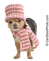 Chihuahua funnily dressed for cold weather