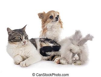 chihuahua, gato, rabit