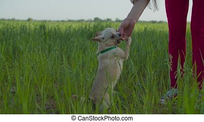 Chihuahua getting cookie as treat for good behavior - ...