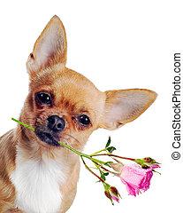 chihuahua, hund, mit, rose, freigestellt, weiß, hintergrund