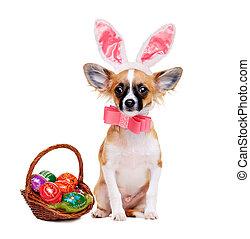 chihuahua, hund, tröttsam, kanin öra, med, påsk korg