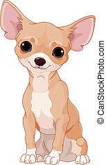 Chihuahua - Cute  dog of breed Chihuahua