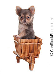 Chihuahua in a cart