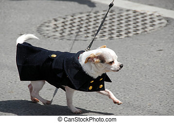 Chihuahua in a coat - White chihuahua in a coat