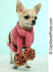 Chihuahua in a pink scarf