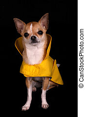 Chihuahua in a Raincoat - A little Chihuahua in a yellow...