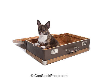 Chihuahua in a suitcase in the studio on a white background