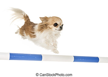 chihuahua in agility