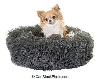 chihuahua in cushion