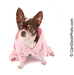 chihuahua in pink