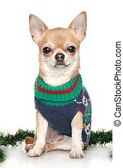 Chihuahua in winter clothes