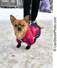 Chihuahua in winter gear, on paws winter boots
