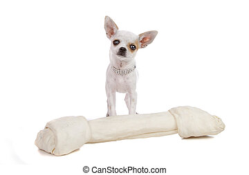 chihuahua isolated on a white background
