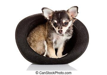 Chihuahua, junger Hund, Hut