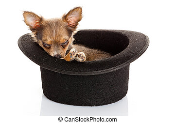 chihuahua, junger hund, in, a, hat.
