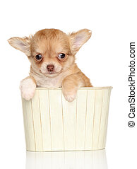 chihuahua, junger hund, in, a, kasten