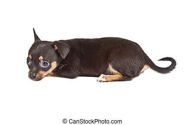 chihuahua, junger hund, vor, a, weißer hintergrund