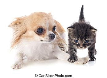 Chihuahua, kã¤tzchen