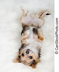 Chihuahua lying on her back on white fluffy fur - Chihuahua...