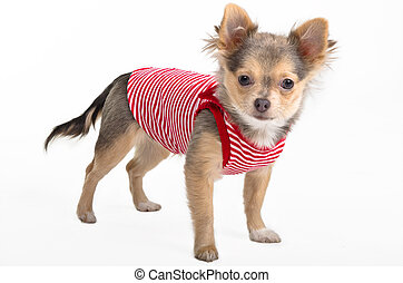 chihuahua, minuscuul