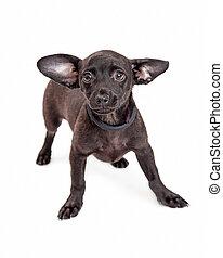 Chihuahua Mixed Breed Dog with Black Coat