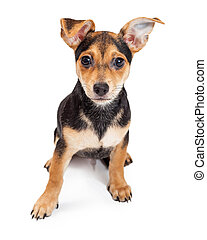 Chihuahua Mixed Breed Three Month Old Puppy Sitting - A very...