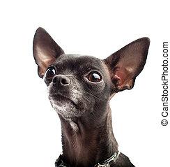 chihuahua, noir