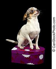 Chihuahua on a box