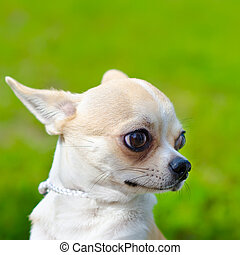 chihuahua on a green grass outdoors