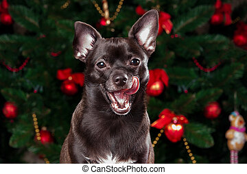 Chihuahua on the background of Christmas tree