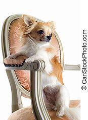 chihuahua, op, antieke , stoel