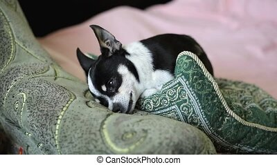 Chihuahua or toy-terrier dog lies on the couch. Front view....