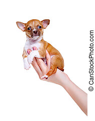 chihuahua pappy in woman's hand