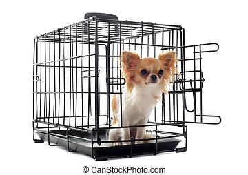 chihuahua, perrera