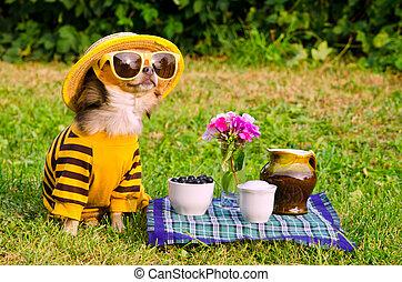 chihuahua, picknick, tuin, dog
